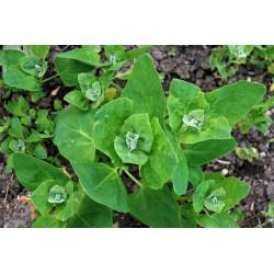 Atriplex hortensis (150 semi) (raccolta 2017) - Atriplice degli orti - spinaci