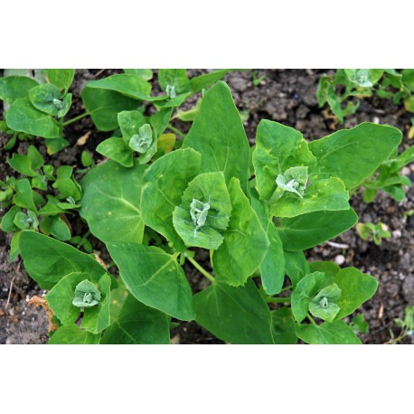 Atriplex hortensis (50 semi) - Atriplice degli orti - spinaci spinacione bietolone