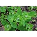 Atriplex hortensis (150 semi) (raccolta 2015) - Atriplice degli orti - spinaci