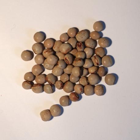 Pisello Piccione  (30 semi) - fagiolo piselli - Cajanus cajan