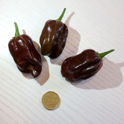Peperoncino habanero chocolate (10 semi) - piccante