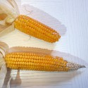 Mais da popcorn (30 semi) - Popcorn - Granoturco - Granturco