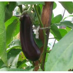 Melanzana lunga nera (15 semi)
