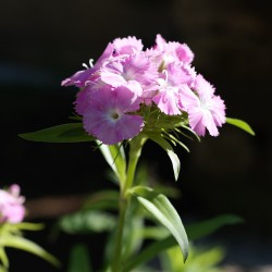 Garofanino mix (50 semi) - garofano dei poeti - Dianthus barbatus