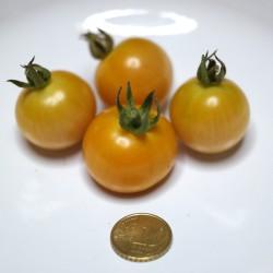Pomodoro invernale giallo (80 semi) (raccolta 2015) - pomodori gialli - pomodorino pomodorini