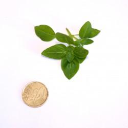 Basilico Nano (20 semi) - piccolo