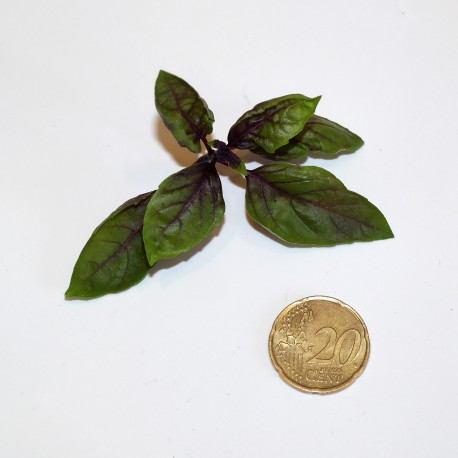 Basilico Violetto - viola