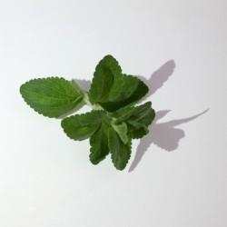 Stevia Rebaudiana Criolla (50 semi) - dolcificante naturale