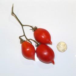 Pomodoro del piennolo rosso (20 semi) - pomodorino piennolo vesuvio