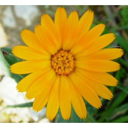 Calendula nana (20 semi) - calendule