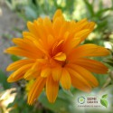 Calendula officinalis (20 semi) - calendule