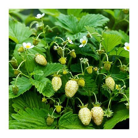 Fragolina di bosco bianca (10 semi) - non ogm