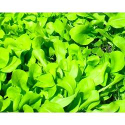 Cicoria zuccherina da taglio (200 semi) - cicorie