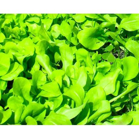 Cicoria zuccherina da taglio (200 semi)