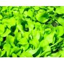 Cicoria zuccherina da taglio (50 semi) - cicorie
