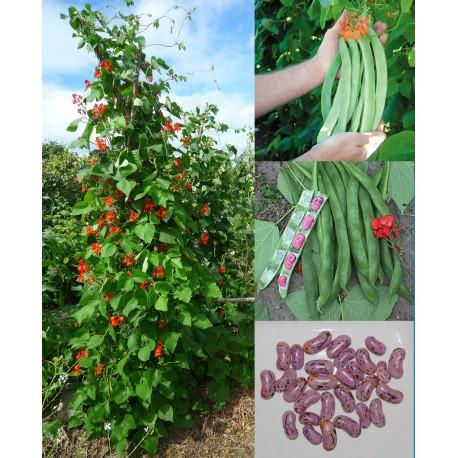 Fagiolo di Spagna (15 semi) - Fagioli Prizewinner rampicante  a fiori rossi