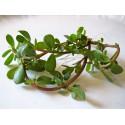 Portulaca oleracea (100 semi) - Porcellana